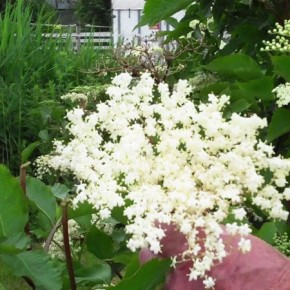 Recipe: elderflower syrup